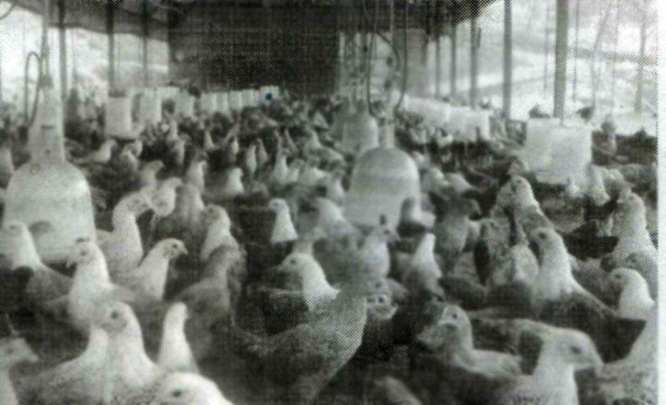 ayam petelur ayam arab dapat menjadi salah satu usaha yang layak